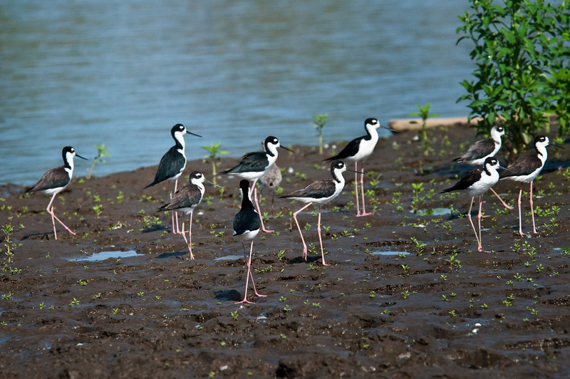Black-necked Stilts<br /> <br /> 190-DSC_2390