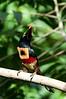 Collard Aracari<br /> <br /> 224-DSC_2725