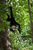 More White-faced Monkey at Manuel Antonio National Park.<br /> <br /> 172-DSC_2250