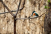 Green Kingfisher<br /> <br /> 071-DSC_1584