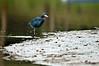 Little Blue Heron<br /> <br /> 065-DSC_1492