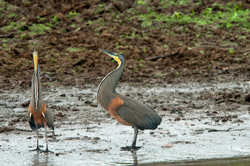 Bare-throated Tiger heron - two males vocalizing.<br /> <br /> 058-DSC_1426