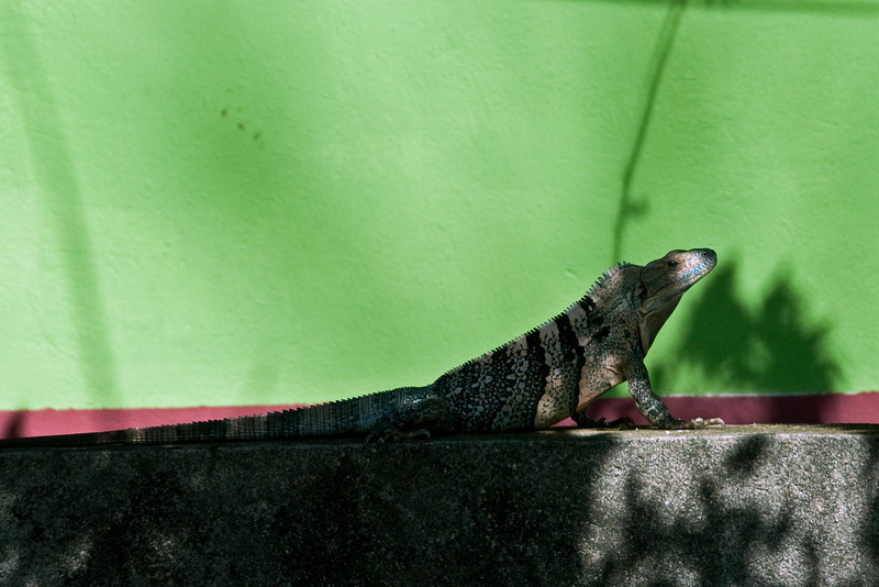 Iguana<br /> <br /> 123-DSC_2041