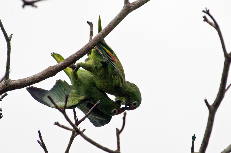 Red-lored Parrot<br /> <br /> 081-DSC_1802