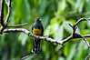 Black-headed Trogon<br /> <br /> 228-DSC_2754