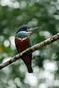 Ringed Kingfisher<br /> <br /> 072-DSC_1613