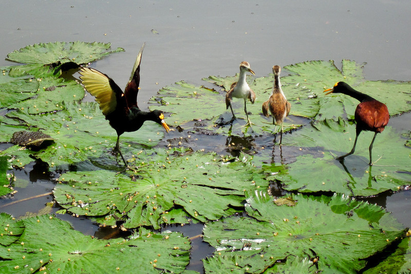 On the way back to San Jose we stopped at a wood factory and found this family of Jacana in a pond nearby.<br /> <br /> 241-IMG_9176