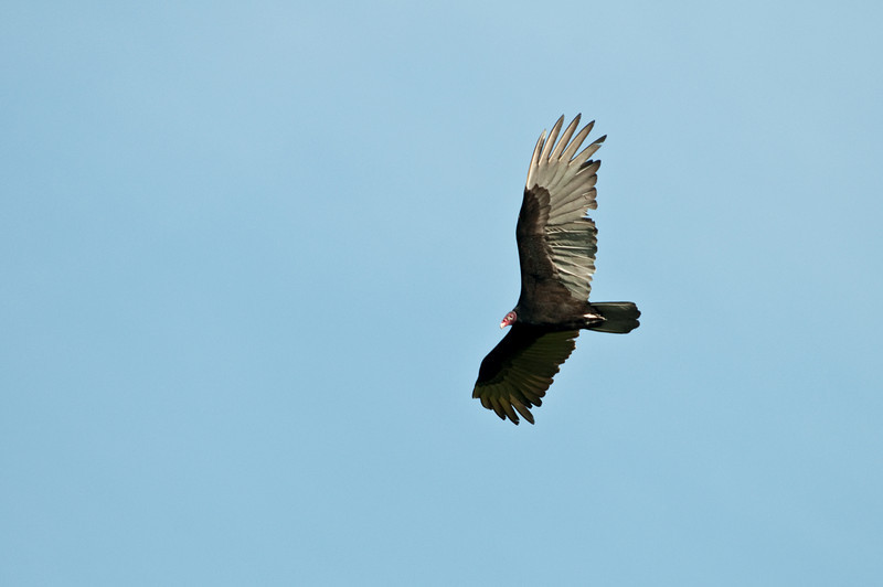 Turkey Vulture again<br /> <br /> 154-DSC_2177