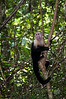 More White-faced Monkey at Manuel Antonio National Park.<br /> <br /> 171-DSC_2246