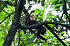 A baby Howler Monkey.<br /> <br /> 176-DSC_2262