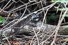 A racoon at Manuel Antonio National Park<br /> <br /> 170-DSC_2242