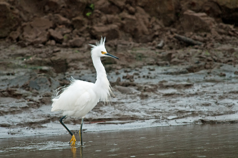 Snowy Egret with ruffled feathers!<br /> <br /> 056-DSC_1405