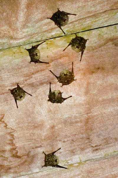 Found these bats under a boat shed during the rain.<br /> <br /> 283-IMG_9232