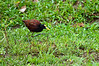 Northern Jacana<br /> <br /> 062-DSC_1467