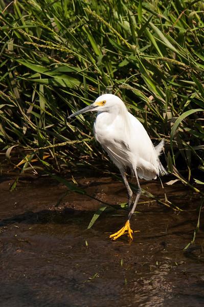 Snowy Egret<br /> <br /> 187-DSC_2338