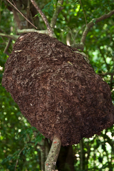 This is a termite nest in a tree, very common in Costa Rica.<br /> <br /> 174-DSC_2253