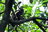 A baby Howler Monkey.<br /> <br /> 175-DSC_2261