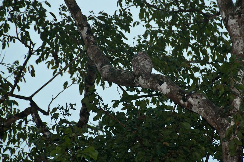 Great Potoo - sorry about the clarity but it was dark and rainy. Can you see it?<br /> <br /> 280-DSC_2982
