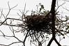 Tiger Heron nest<br /> <br /> 231-DSC_2784