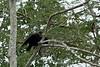 Black Vulture<br /> <br /> 096-DSC_1913