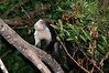 White-faced Monkey while on an early morning walk.<br /> <br /> 164-DSC_2213