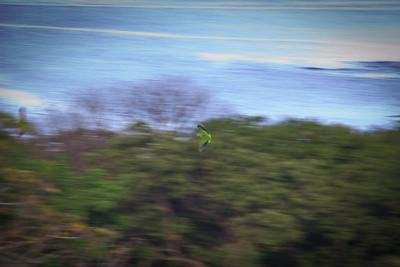 Parakeet (Aratinga canicularis?) in flight