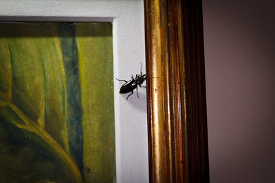 Stag Beetle, approx 5cm in length
