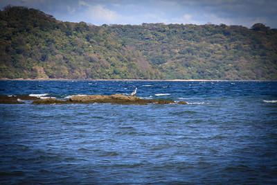 Brown Pelican (Pelecanus occidentalis) on the Rocks