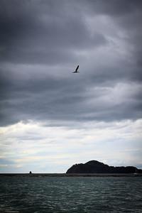 Brown Pelican (Pelecanus occidentalis) Against the Clouds
