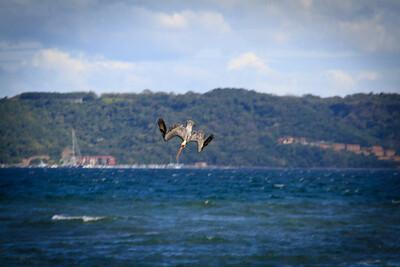 Brown Pelican (Pelecanus occidentalis) Diving For Fish