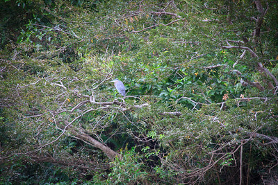 Black-Crowned Nught Heron (Nycticorax nycticorax)