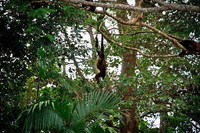 Howler Monkeys (Allouatta sp.)