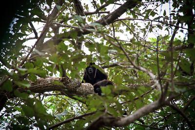 Howler Monkey (Allouatta sp.)