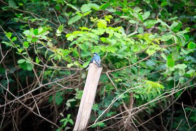 Mangrove Swallows (Tachycineta albilinea)