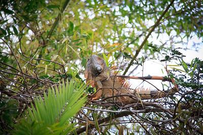 Iguana, Palo Verde