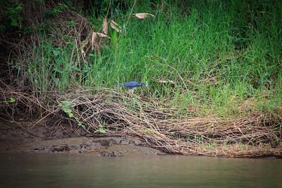 Little Blue Heron (Egretta cerulea)