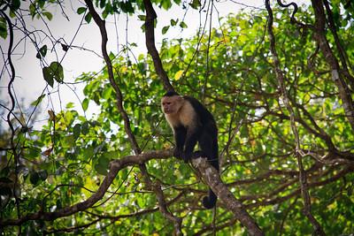 White-Faced Monkey (Cebus capucinus)