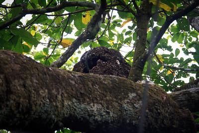 Iguana on a Termite Nest