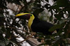 3 types of Tucans<br /> Chestnut-mandibled Toucan