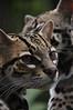 Cats (Ocelots)