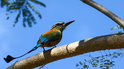 costa rica, nature, travel, wildlife, holiday, liberia, birds, bird, eumomota, superciliosa, mot mot