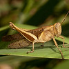 Costa Rica 2013: Dominical - 331 Yellow-lined Abracris (Acrididae: Ommatolampidinae: Abracrini: Abracris flavolineata)