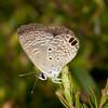 Costa Rica 2013: Dominical - 023 Ceraunus Blue (Lycaenidae: Polyommatinae: Hemiargus ceraunus astenidas)