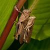 Costa Rica 2013: Dominical - 130 Yellow-lined Abracris (Acrididae: Ommatolampidinae: Abracrini: Abracris flavolineata)
