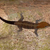 Costa Rica 2013: Dominical - 026 Yellow-headed Gecko (Gekkonidae: Gekkoninae: Gonatodes albogularis) male