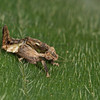 Costa Rica 2013: Uvita - 215 Gyponine Leafhopper nymph (Cicadellidae: Gyponinae)
