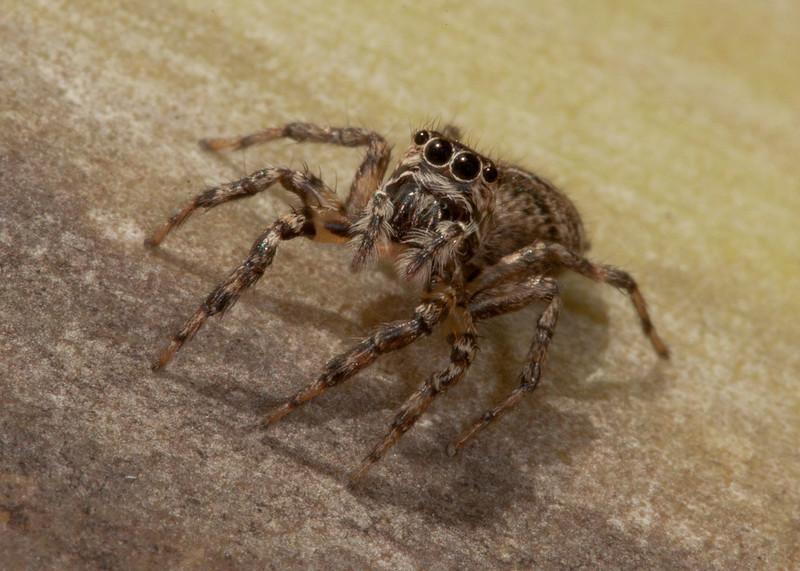 Costa Rica 2013: Uvita - 296 Jumping Spider (Salticidae: possibly Eris sp.)