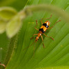 Costa Rica 2013: Uvita - 016 Carabid Beetle (Carabidae: Lebiinae: Calophaenini: Calophaena bicincta)