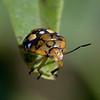 Costa Rica 2013: Uvita - 006 Green Stink Bug nymph (Pentatomidae: Pentatominae: Pentatomini: Chinavia marginata [= Acrosternum marginatum])