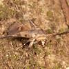 Costa Rica 2013: Uvita - 330 Geometrid moth?(Geometridae)
